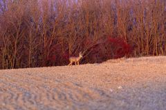 Buck deer with roe-deer royalty free stock image