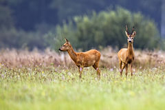 Buck deer with roe-deer in a clearing Stock Photo