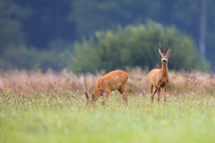 Buck deer with roe-deer in a clearing Royalty Free Stock Photo