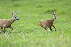 Buck deer with roe-deer on the run Stock Photo