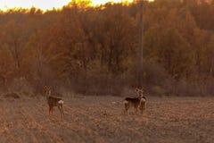 Buck deer with roe-deer royalty free stock photo
