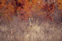 Buck deer with roe-deer royalty free stock photography