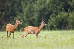 Buck deer with roe-deer in the wild Royalty Free Stock Image
