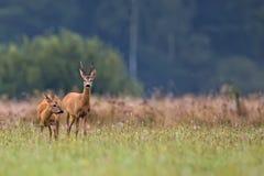 Buck deer with roe-deer in the wild Stock Photos