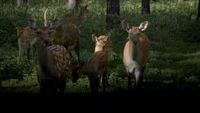 Deers with roe-deer in the wild. Roe deer, capreolus capreolus, doe feeding and looking around on misty meadow early in