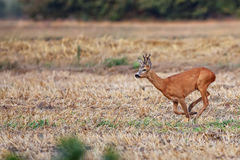 Buck deer on the run Stock Photography