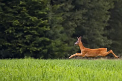 Buck deer on the run Royalty Free Stock Image