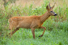 Buck deer on the run in a clearing Royalty Free Stock Images