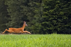 Buck deer on the run in a clearing Royalty Free Stock Image