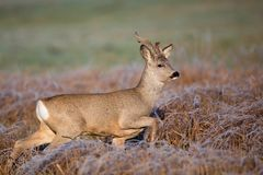 Buck deer on the run Royalty Free Stock Images