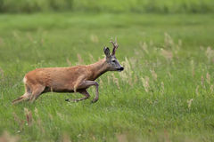 Buck deer on the run Stock Image