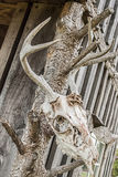 Buck deer skull with antelers hanging on a shed Stock Photo