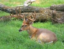 Buck deer in velvet royalty free stock photography