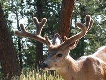 Buck Deer Stock Photo