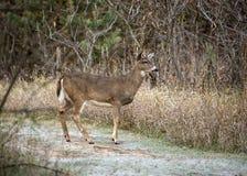 Buck deer walking on wooded path Stock Image
