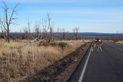 Buck Deer walks across road Royalty Free Stock Image