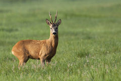 The buck deer in the wild stock image