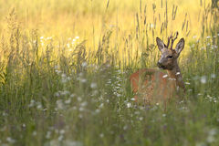 The buck deer in the wild Royalty Free Stock Images