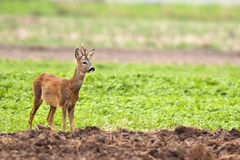 The buck deer in the wild Stock Photography