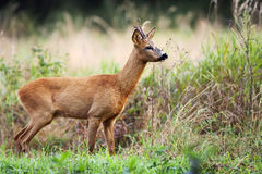 Buck deer in the wild Stock Image