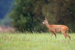 Buck deer in the wild Stock Photos