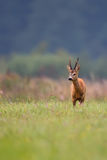 Buck deer in the wild Stock Images