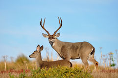 Buck & Doe Stock Photography