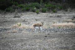 Buck Doe Antelope negro fotografía de archivo