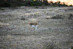 Buck Doe Antelope negro imagenes de archivo