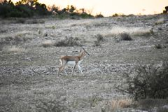 Buck Doe Antelope negro fotos de archivo libres de regalías