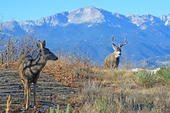 A Buck and Doe Deer Exchange Glance at Mating Season Stock Images
