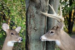 Buck and doe in forest. Whitetail buck and doe deer by tree in forest royalty free stock photos