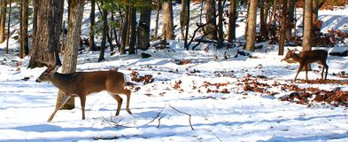 Buck and Doe walk through woods Royalty Free Stock Photo