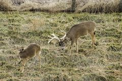 Buck and doe whitetail deer Royalty Free Stock Image