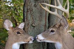 Buck and Doe in woods royalty free stock photos