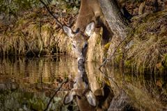 Buck Drinking Blanc-coupé la queue par jeunes de lac image stock