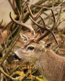 Buck With Drop Tine. A trophy Black-tailed Deer with a drop tine in California Royalty Free Stock Images