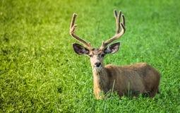 Buck eating greens. Mule deer eating his greens stock image