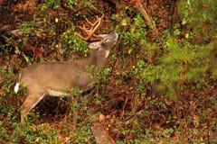 A buck eats in Cades Cove Royalty Free Stock Photos