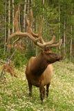 buck elk Zdjęcie Stock