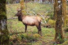 Buck Elk Royaltyfri Bild