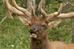 buck elk Obraz Royalty Free
