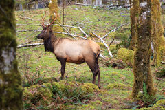 Buck Elk Royalty Free Stock Image
