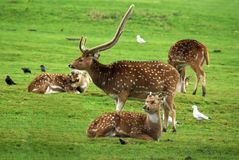 Buck Fallow Deer with Does. Buck Fallow Deer with Three Does stock image