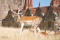 Buck fallow deer and faun. A buck fallow deer (Dama Dama) with fine palmate antlers watches over a faun in an English country house deer park stock photo