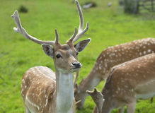 Buck Fallow Deer orgulhoso Fotografia de Stock Royalty Free