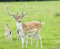 Buck Fallow Deer orgulhoso imagem de stock
