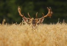 buck fallow oats Στοκ Φωτογραφίες