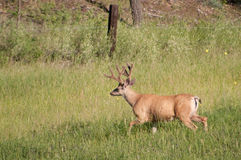 Buck in the Field Royalty Free Stock Photo