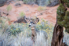 Buck in the field Royalty Free Stock Image